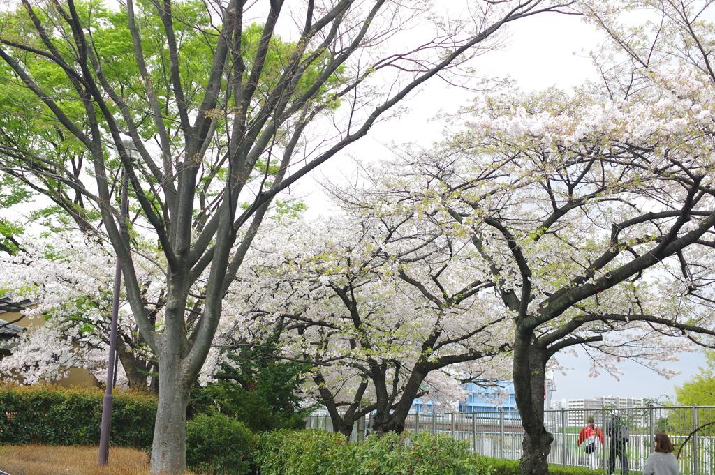 桜(アメリカ)の咲いた風景