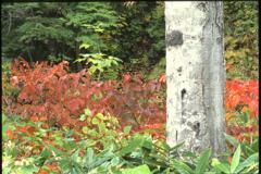 白樺と紅葉(2000年10月8日)