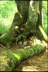 樹木 根も太く