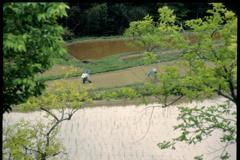 田植え(2000年5月)