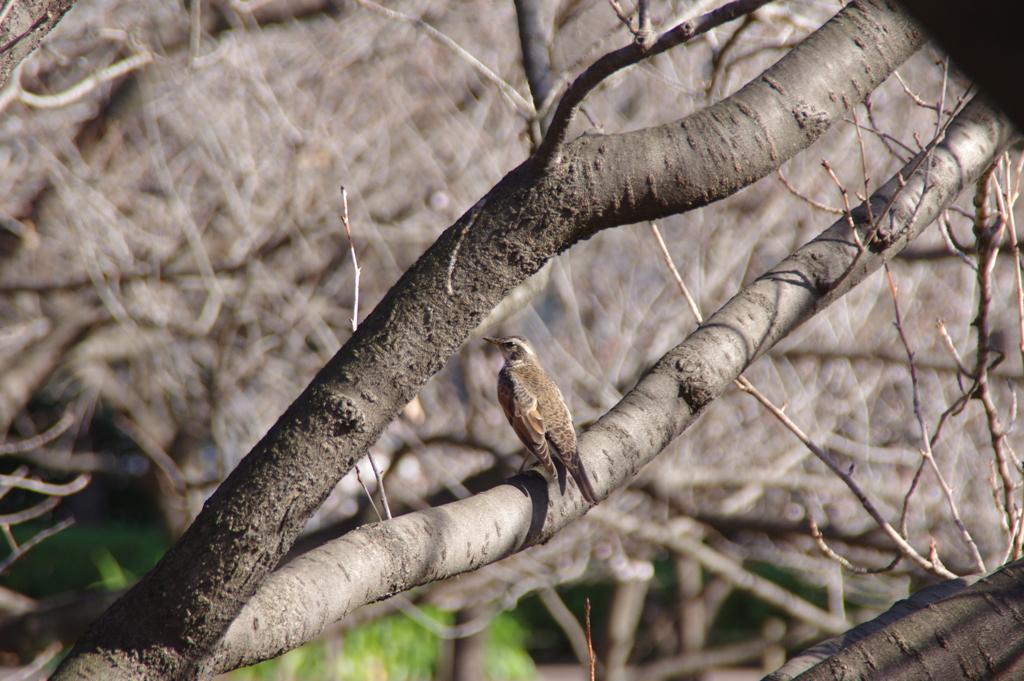 木に止まる鳥(ツグミかな)