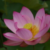 蓮の花 2