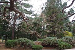 梅の枝(たいりんりょくがく)