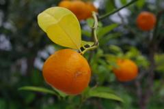 ヒラミレモン