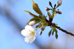 大島桜 4