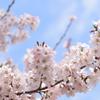 江戸彼岸桜 3