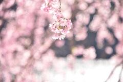 信州はまだまださくらが咲いてました。