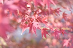 身近な紅葉