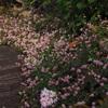 ヒメツルソバの咲く小径