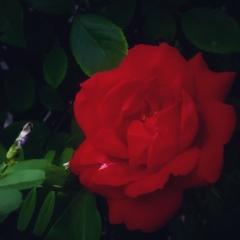 真っ赤な薔薇が