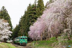 しだれ桜と共に!