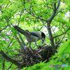 オナガの巣作り#1