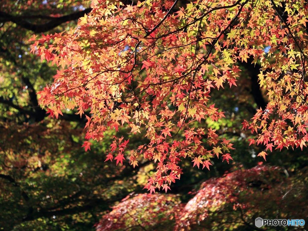 鰐淵寺の紅葉②