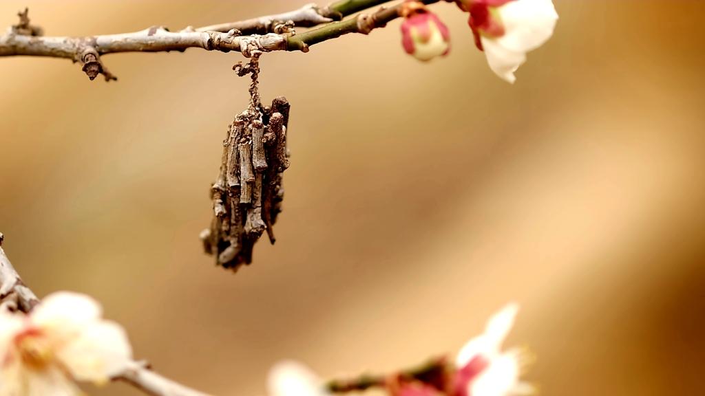 梅にミノムシ