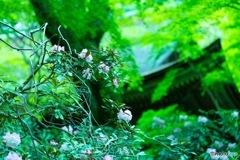 室生寺の花