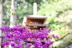 室生寺 五重の塔と花