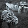 紫陽花と鉄橋