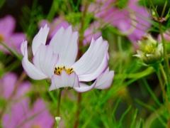 コスモスの花2
