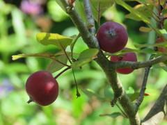 庭のクラブアップル