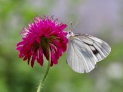 スカビオサと蝶