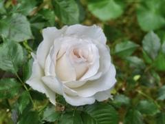 庭を薔薇3