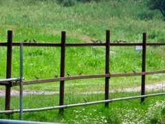 牧場のスズメ
