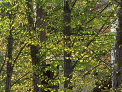 夕日に輝く桂の若葉
