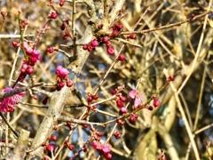 軽井沢の梅の木1