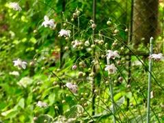 庭のレンゲショウマ