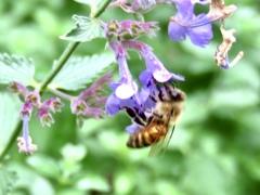 キャットミントとミツバチ