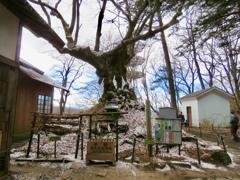 シナノの木