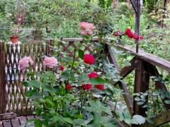 デッキのバラ