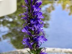 サワギキョウの花