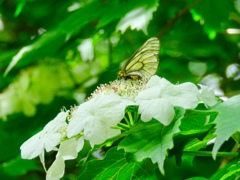 カンボクの花とウスバシロチョウ