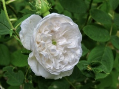 庭の薔薇1