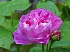 庭の薔薇4