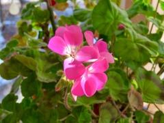 サンルームの花3