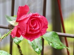 玄関先の薔薇