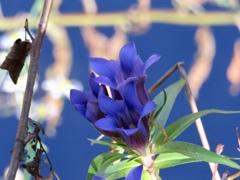 ケラ池のリンドウ