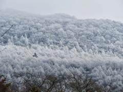 離山の霧氷1