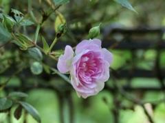 庭の薔薇5