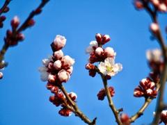 軽井沢の梅の木2