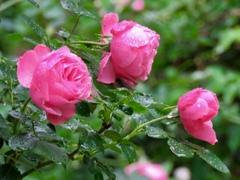 今朝のバラ達5
