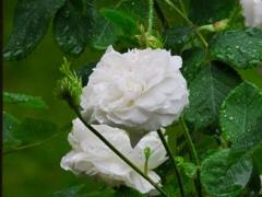 今朝のバラ達3