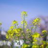 散歩中の菜の花 その2