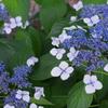 紫陽花 その2