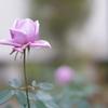 散歩中のバラ その8