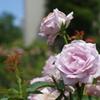 散歩中のバラ その2