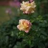 バラ その3