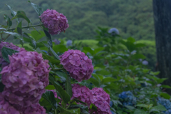 桃色の紫陽花